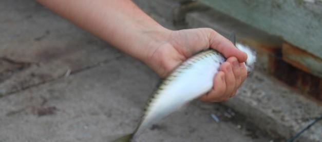 고등어 – 바베큐 형태로 손질하고 어장(魚醬) 만들기