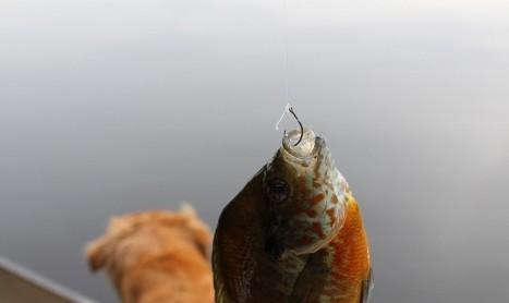 머리카락 낚시도 가능한 물고기 – 바보 먹보 물고기 스내퍼 낚시